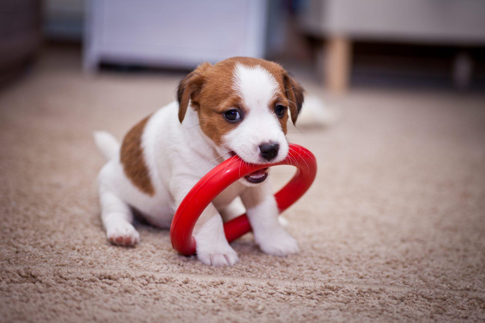 Hotel para cachorro: Filhotes precisam dos seus objetos pessoais para se sentirem acolhidos e em casa.