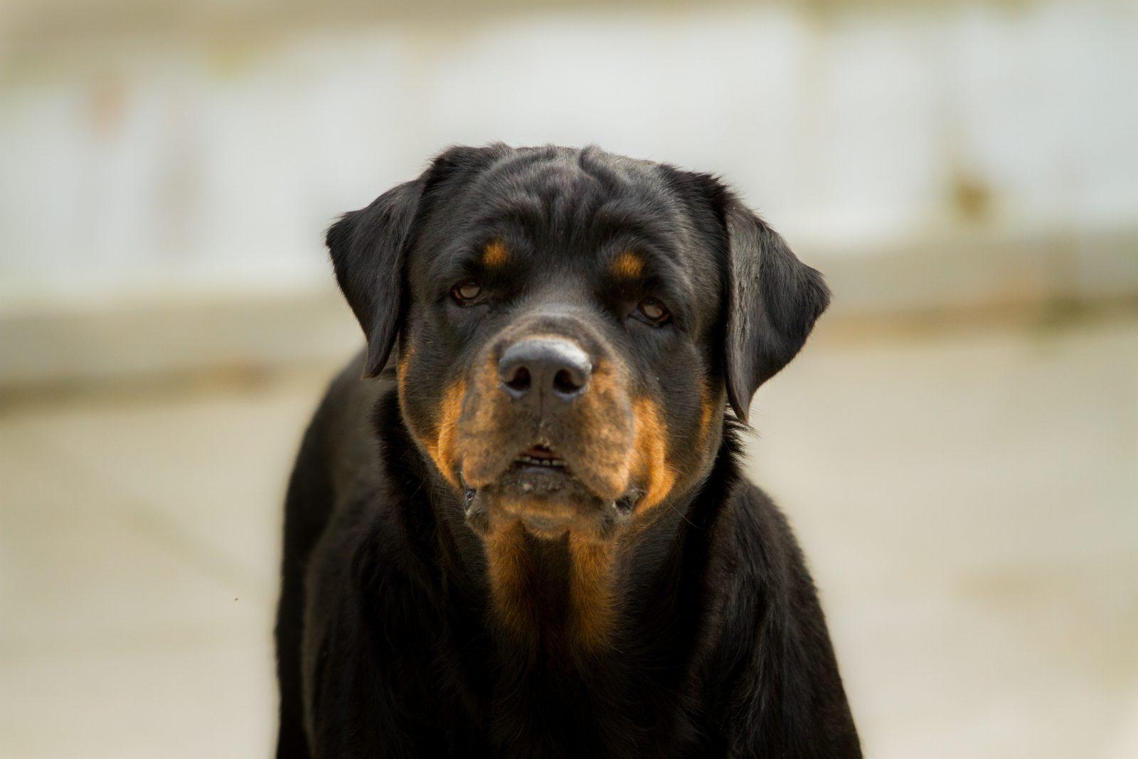 Rottweilers exigem tipo de hotel para cachorro mais específico de acordo o com o seu temperamento e porte.