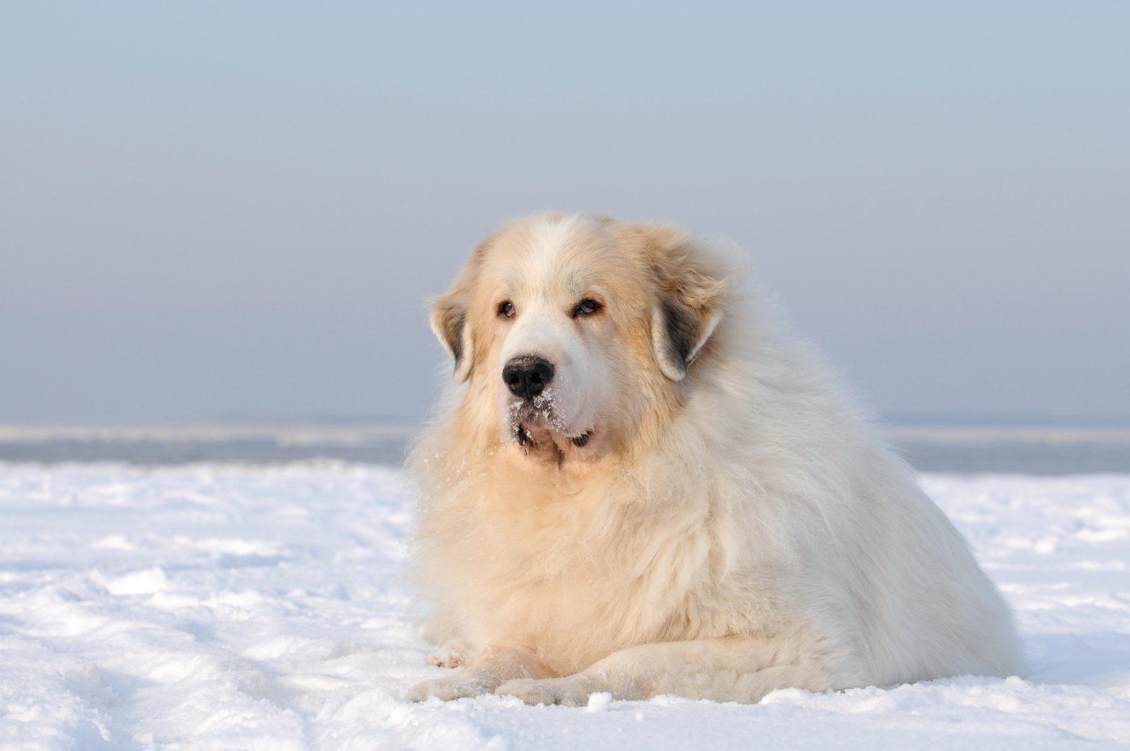 cachorro-montanha-great-pyrenees