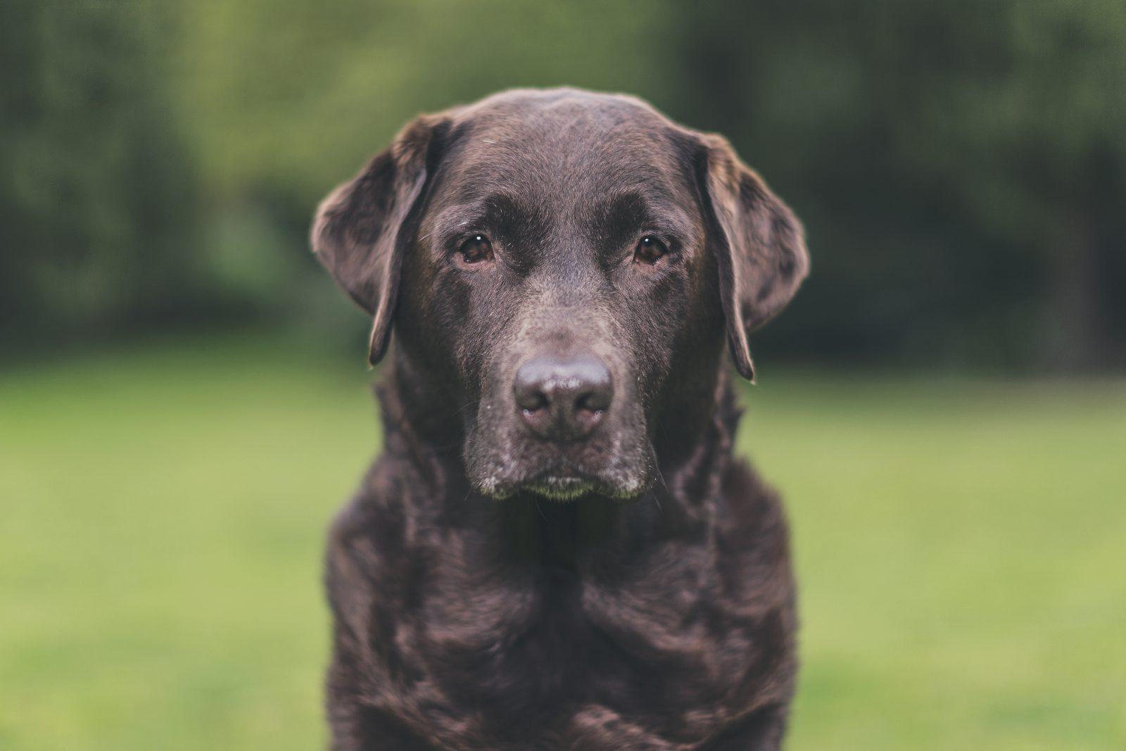 cachorro-montanha-labrador