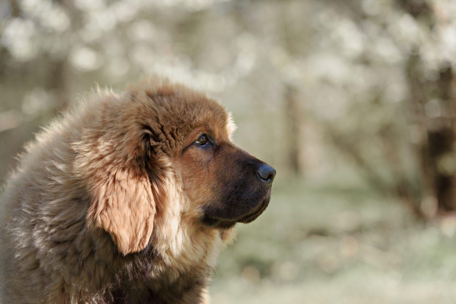 cachorro-montanha-mastife-tibetano
