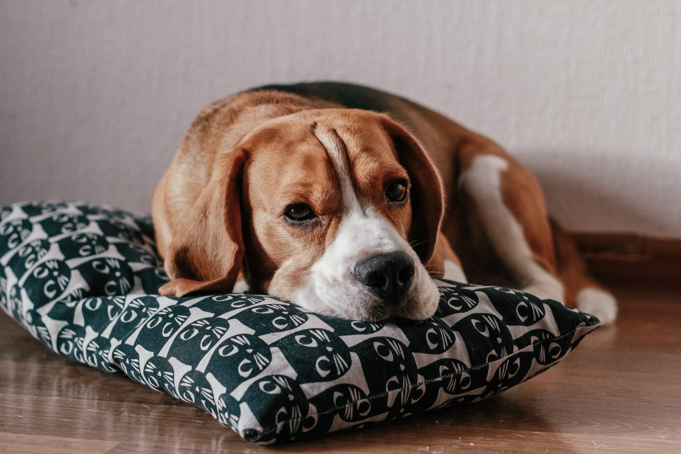 cachorro mordendo por ansiedade