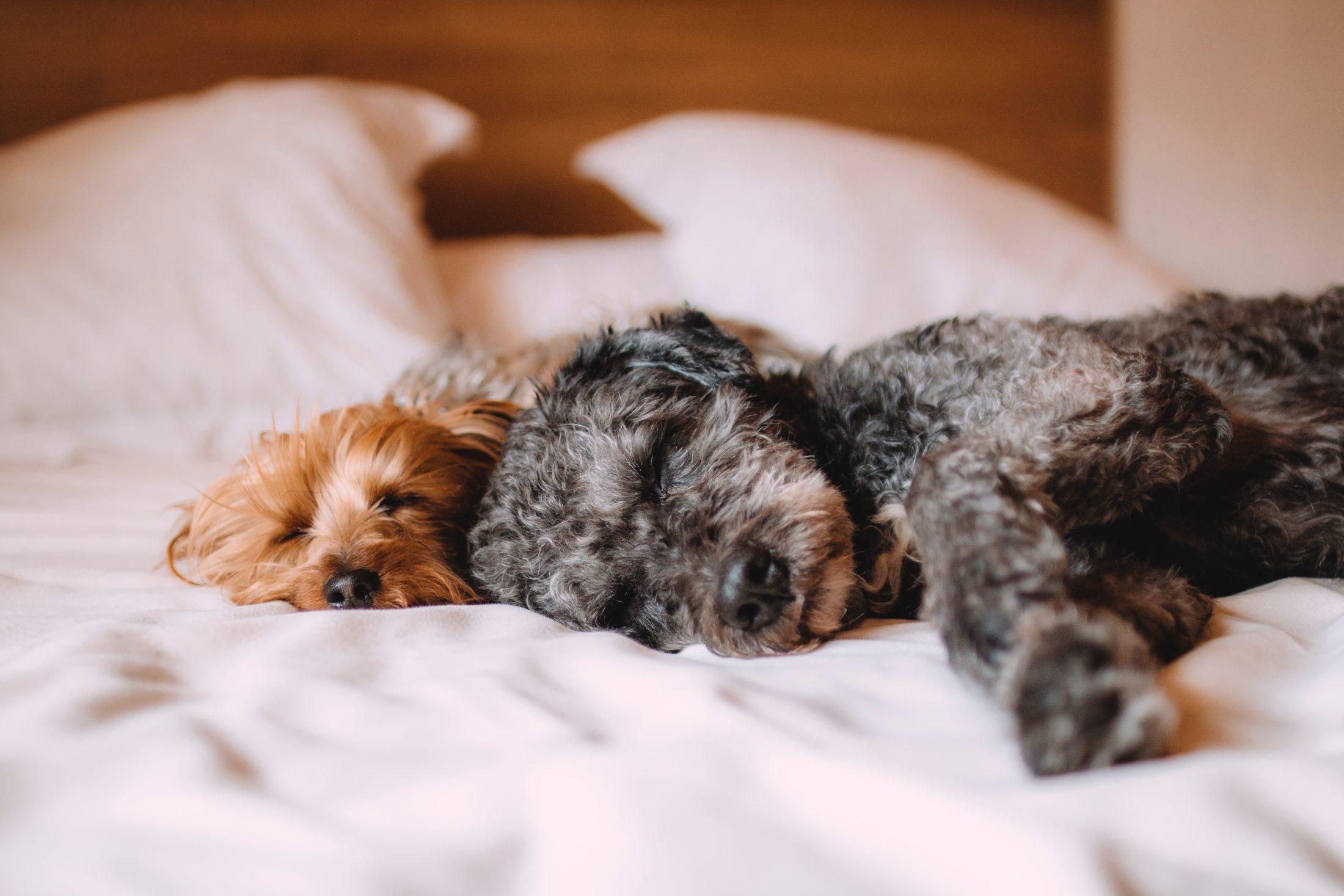 dois cachorro deitados juntos na cama