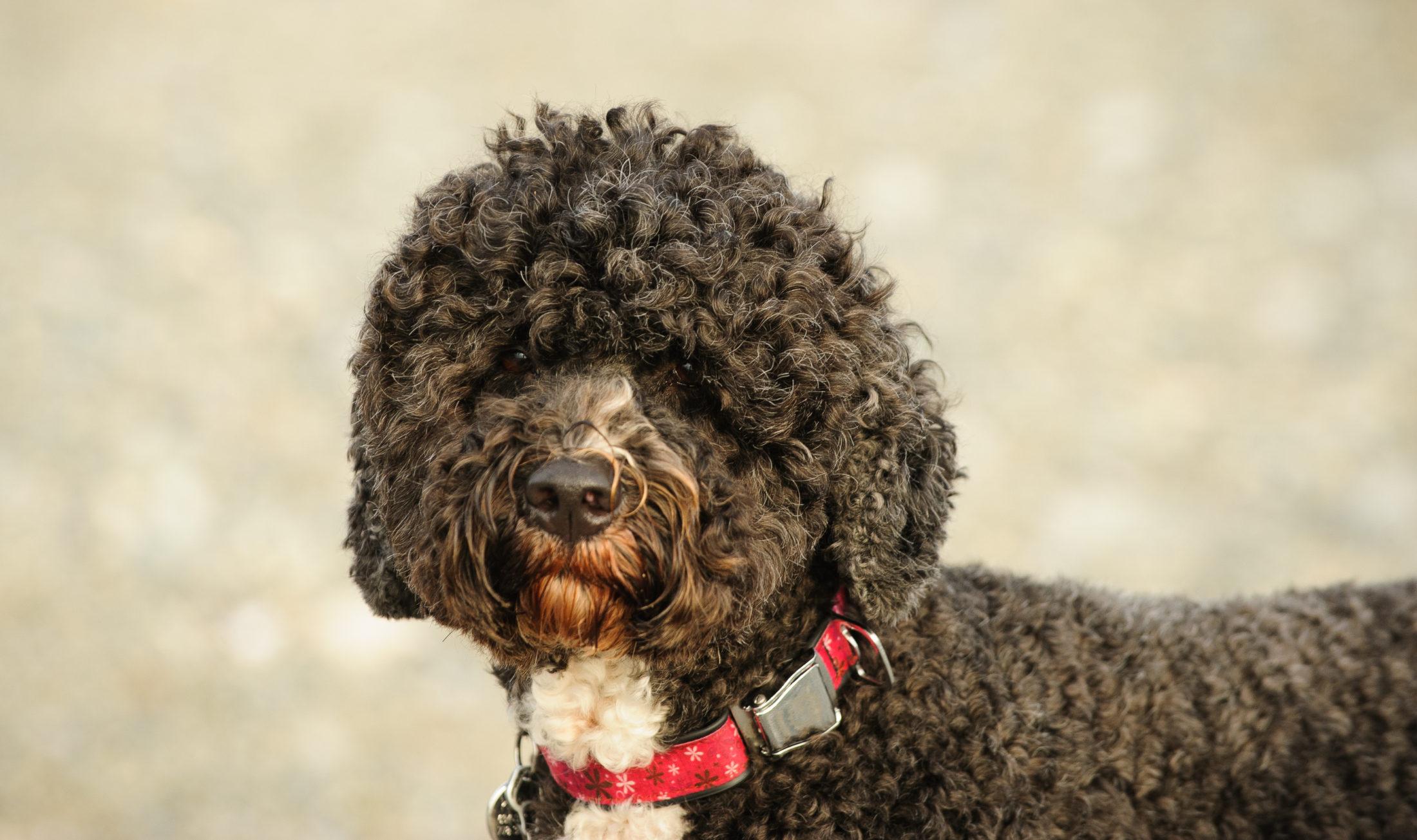 cachorro nadando - cão d'água português