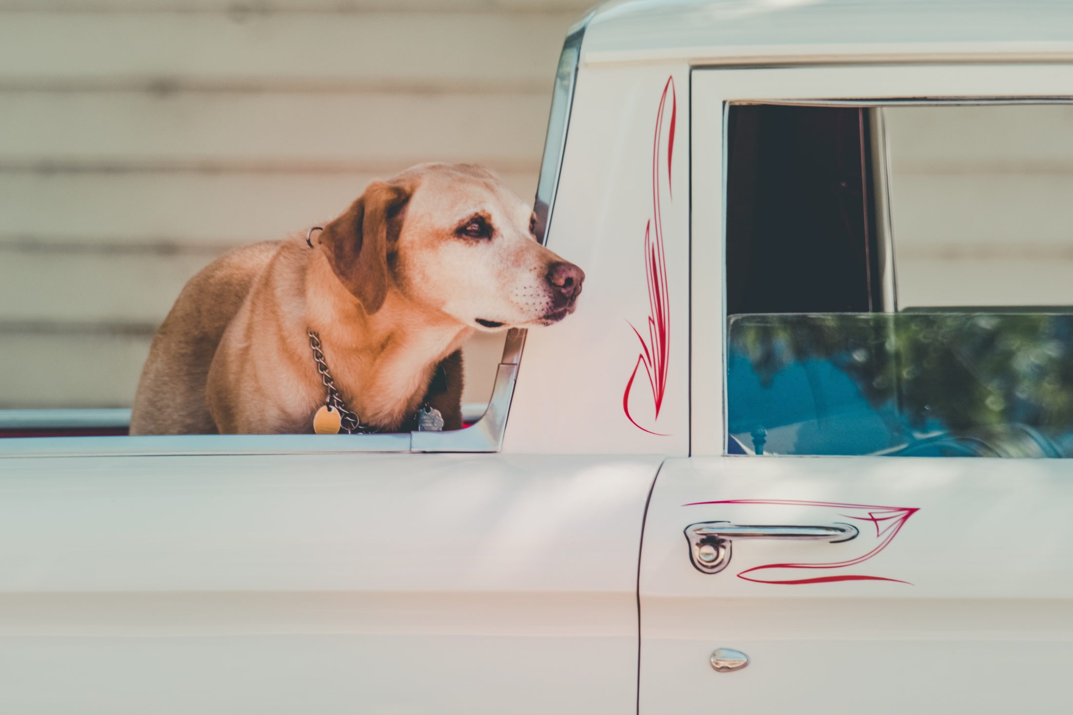 cachorro solto na caçamba da caminhonete