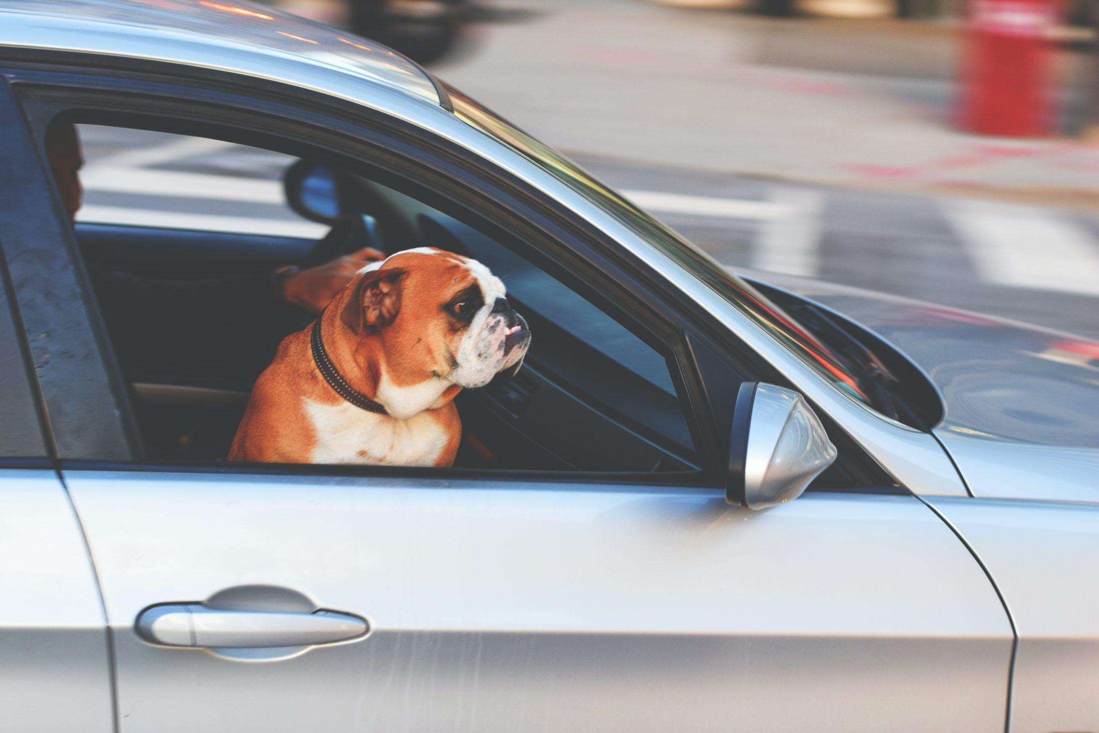 cachorro no carro sentado na janela do banco da frente