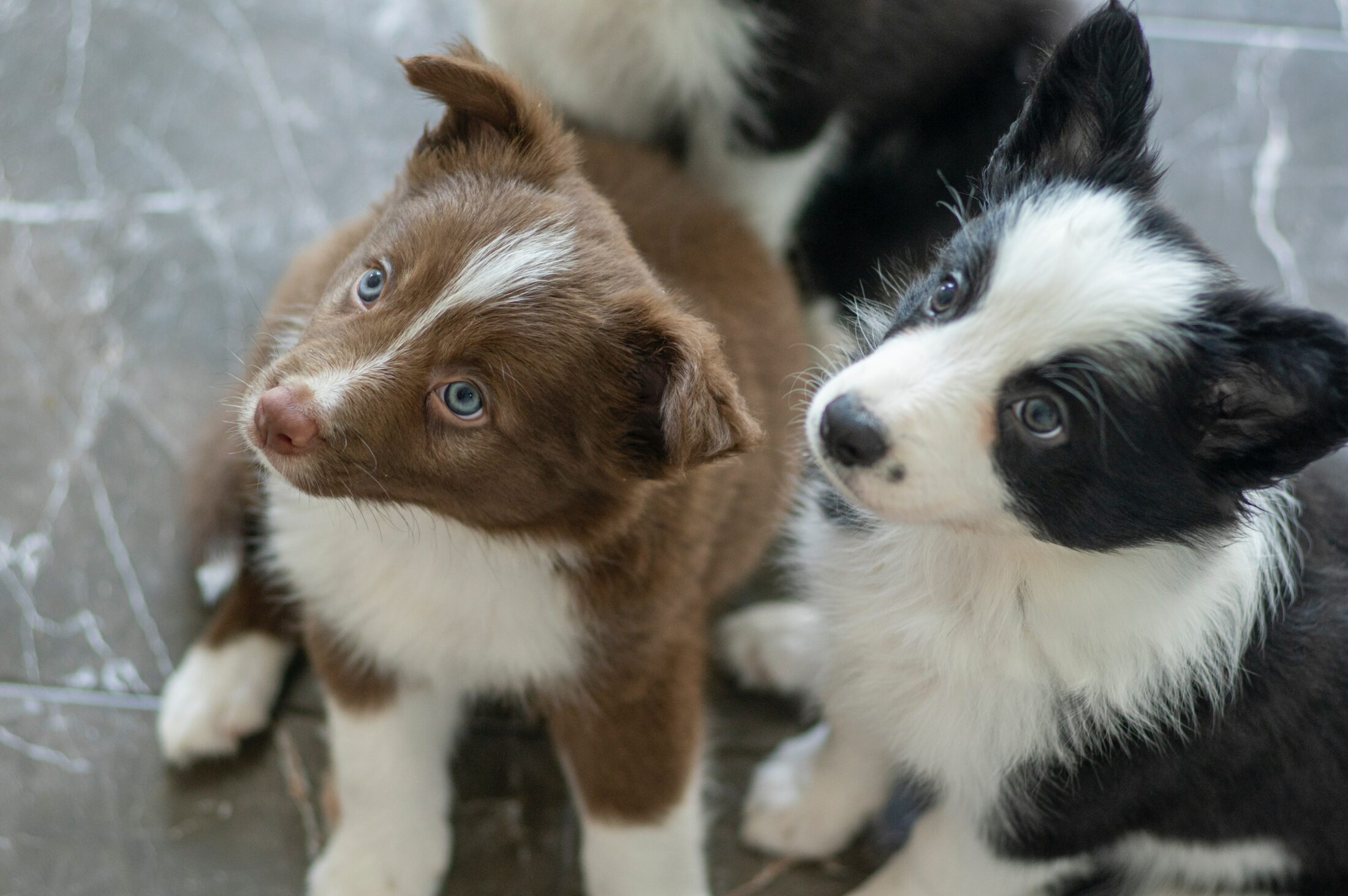 cachorro ocm olho azul - border collies
