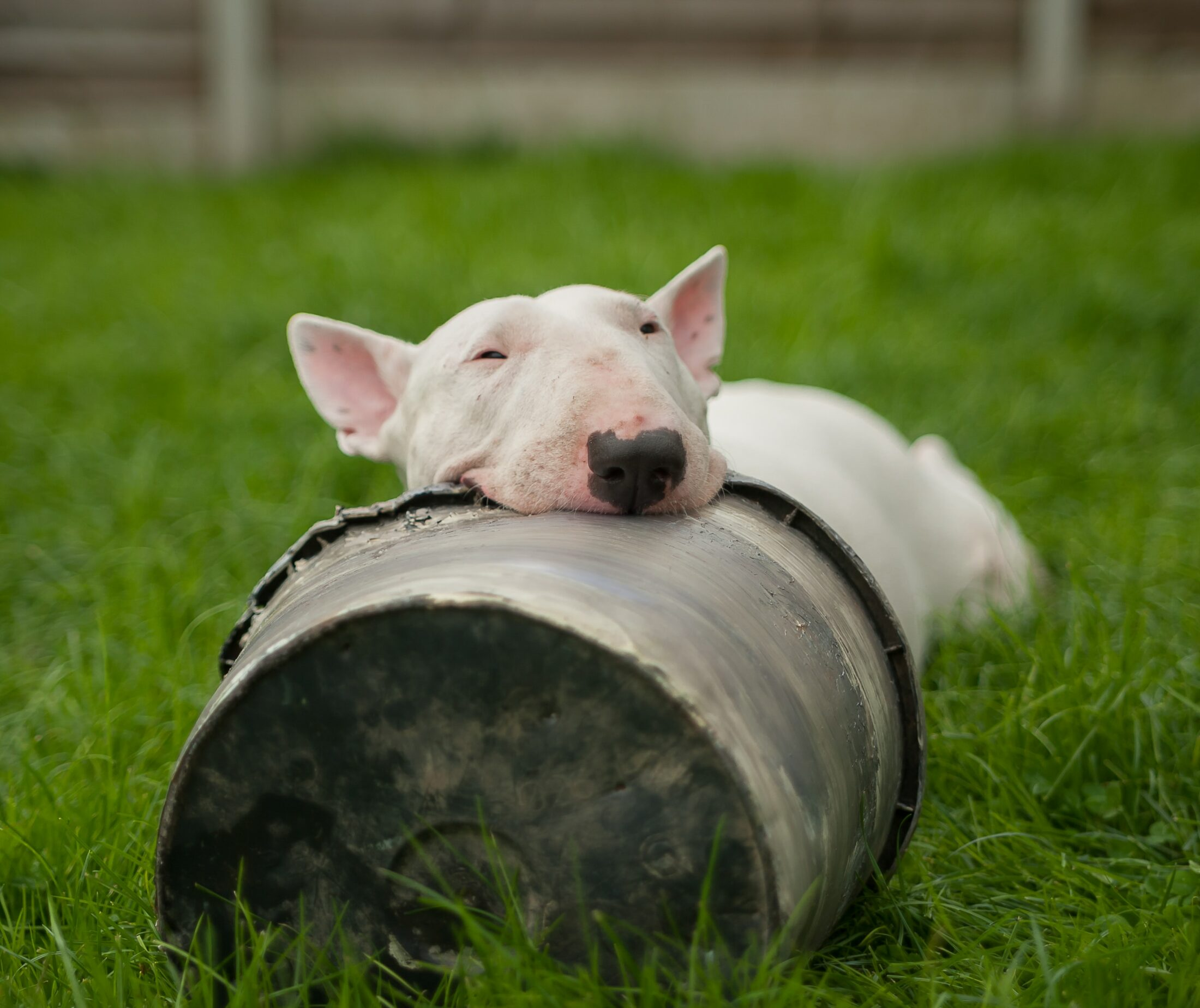 cachorro ocm olho azul - bull terrier
