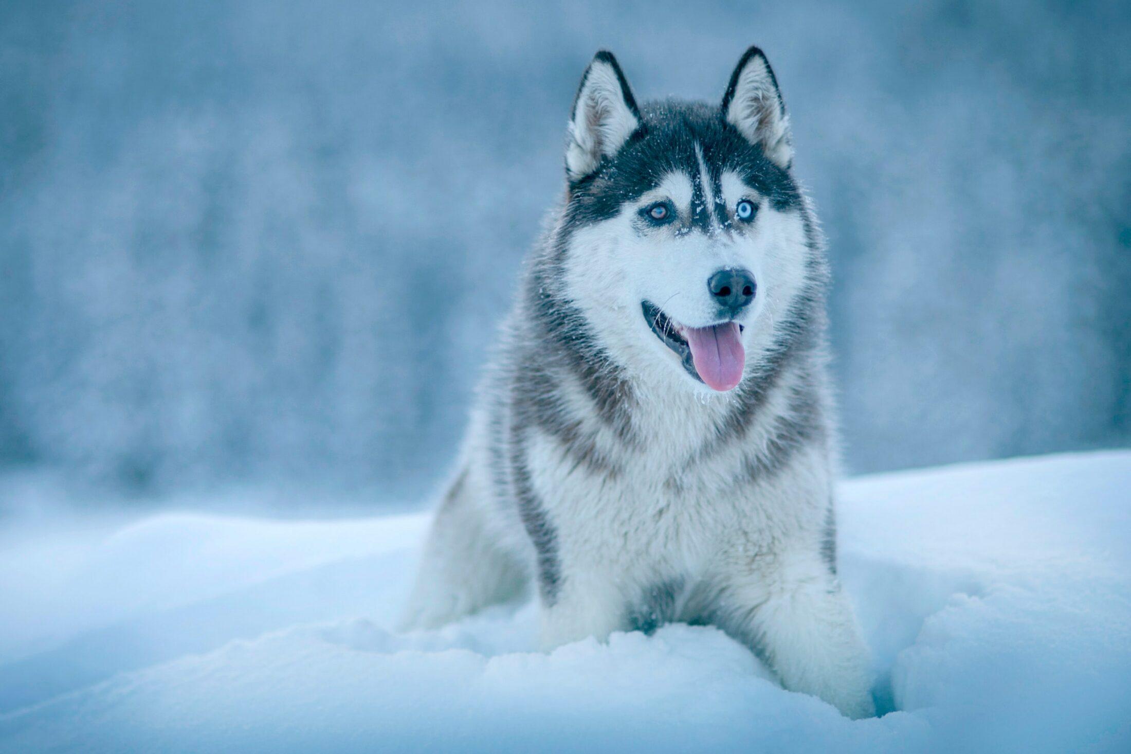 cachorro ocm olho azul - husky siberiano