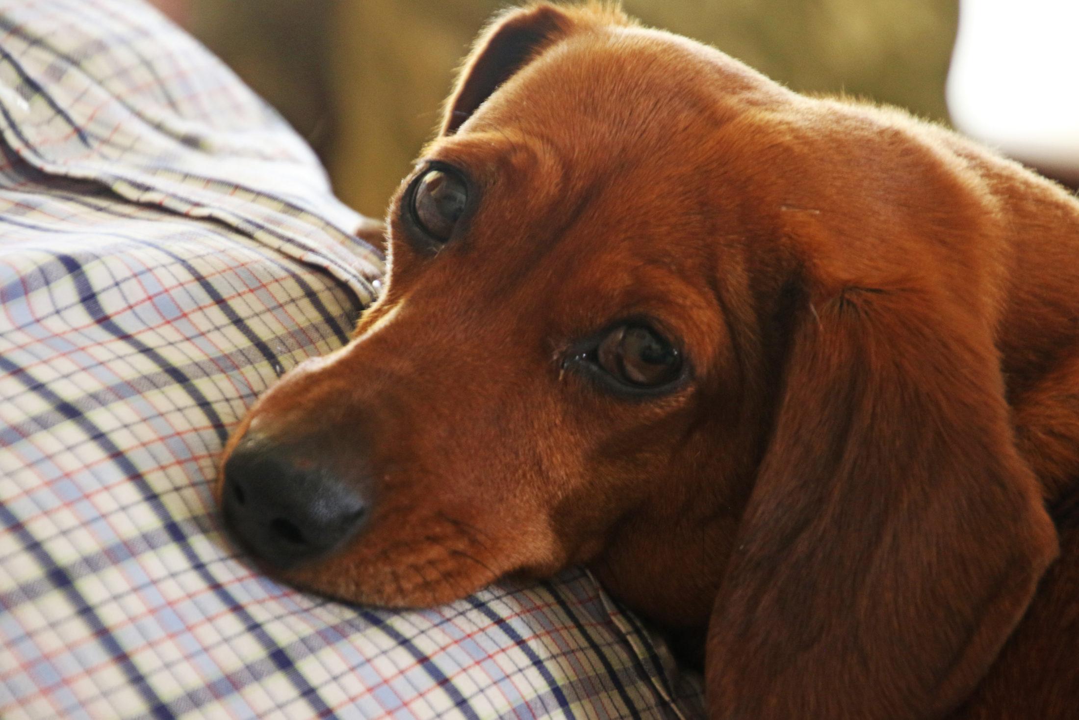 cachorro para apartamento - Dachshund