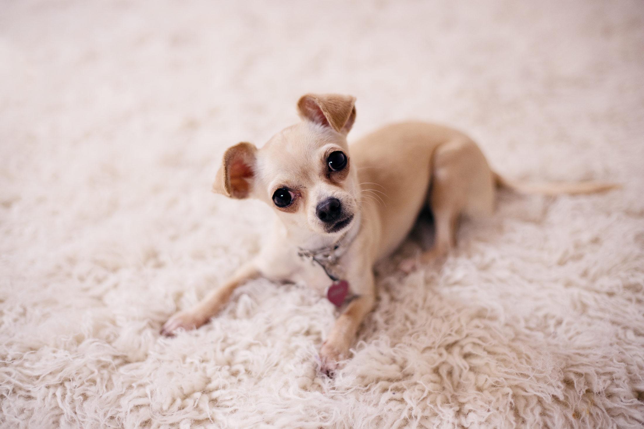 cachorro para apartamento - chihuahua