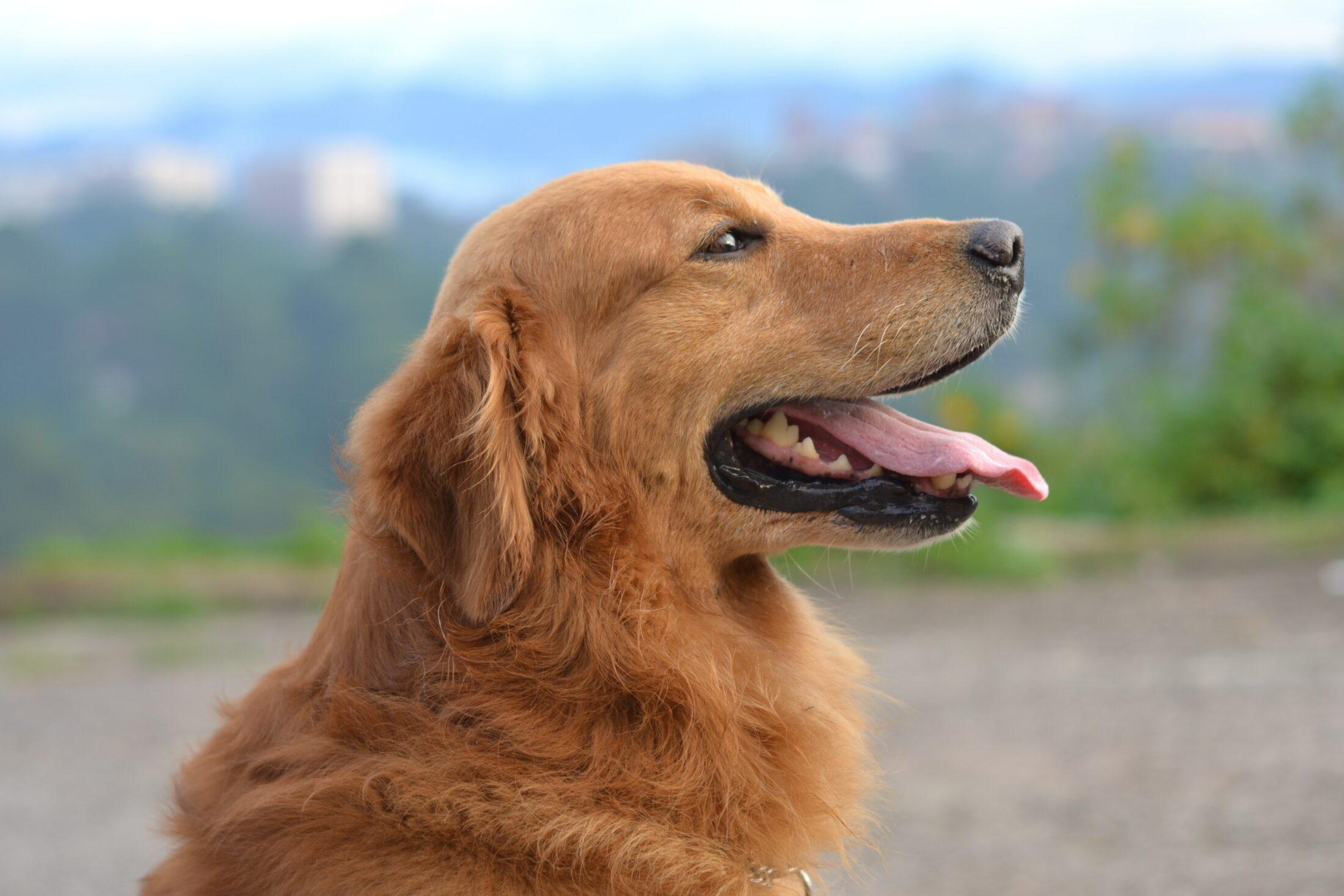cachorro peludo golden retriever