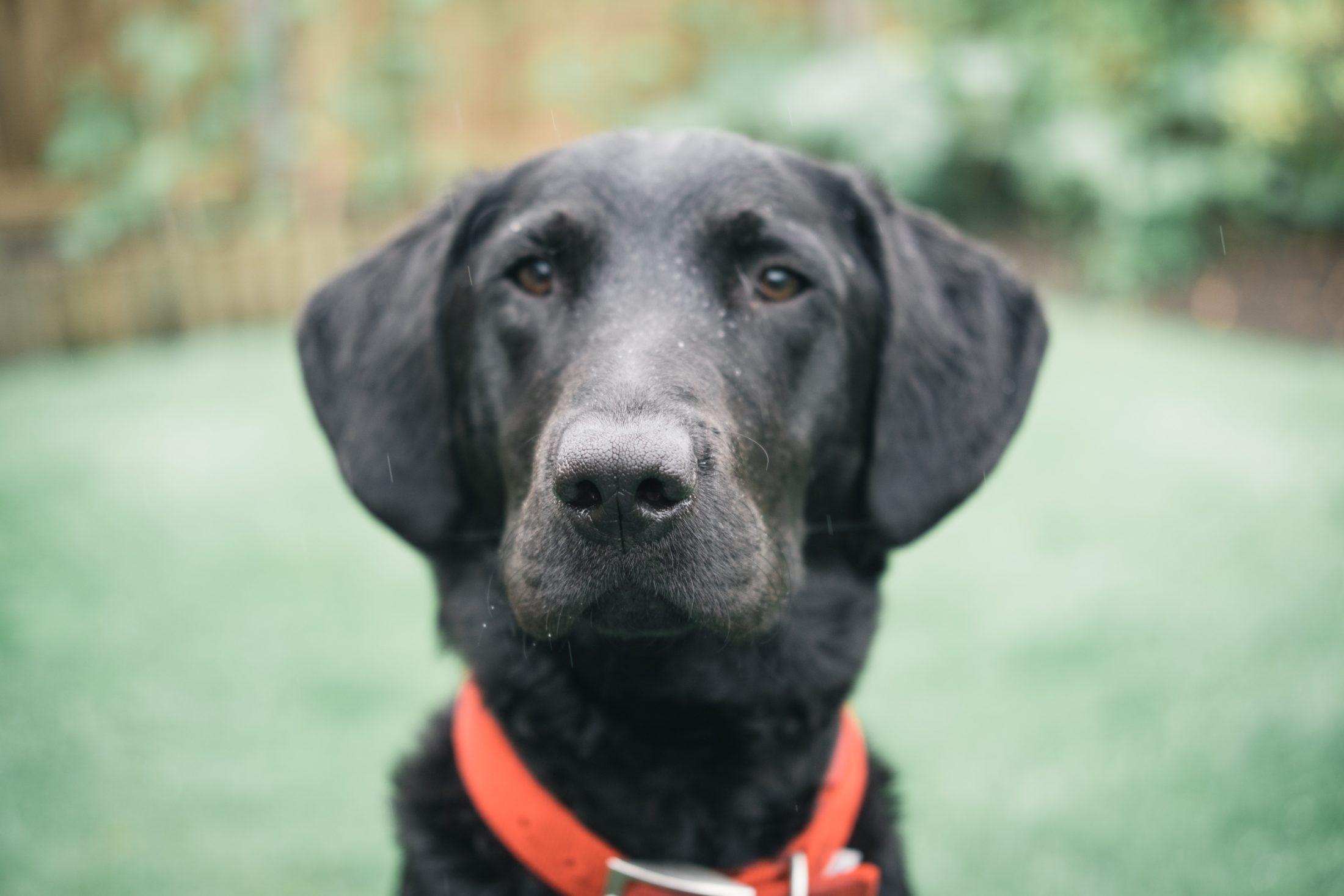 cachorro labrador preto de coleira vermelha