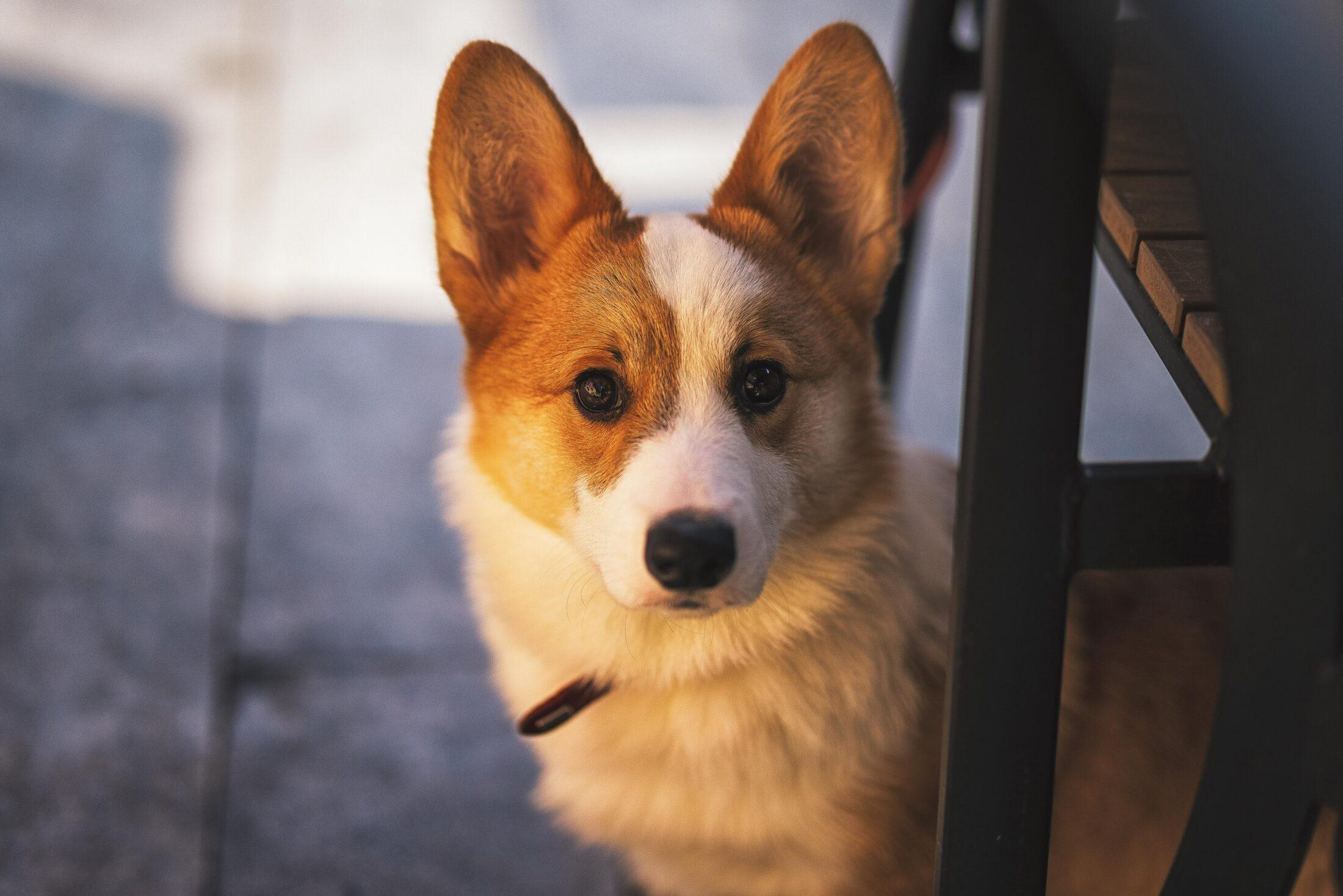 cachorro porte medio - corgi