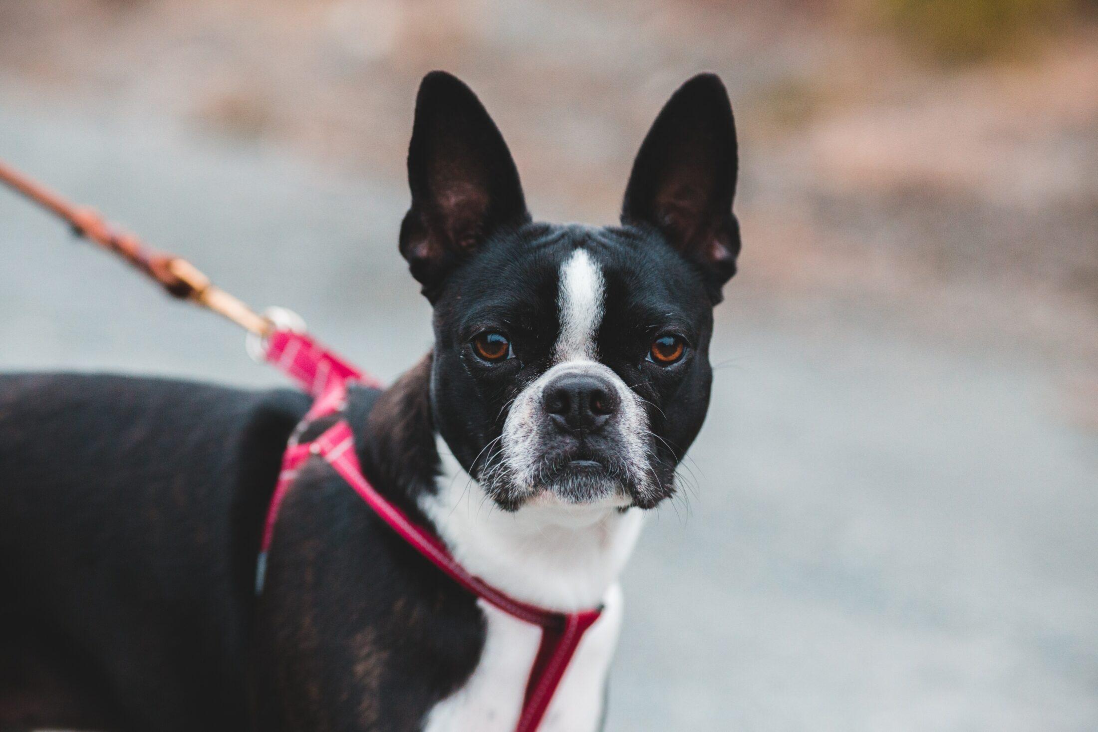 cachorro que nao late - boston terrier