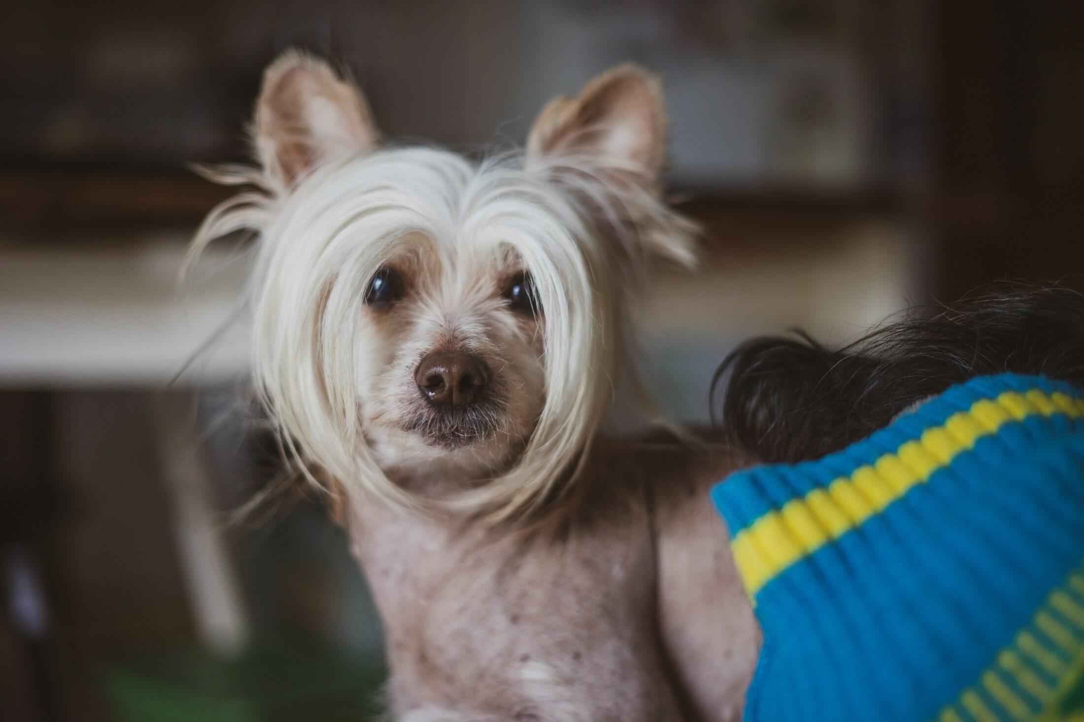 cachorro que nao late - crista chines