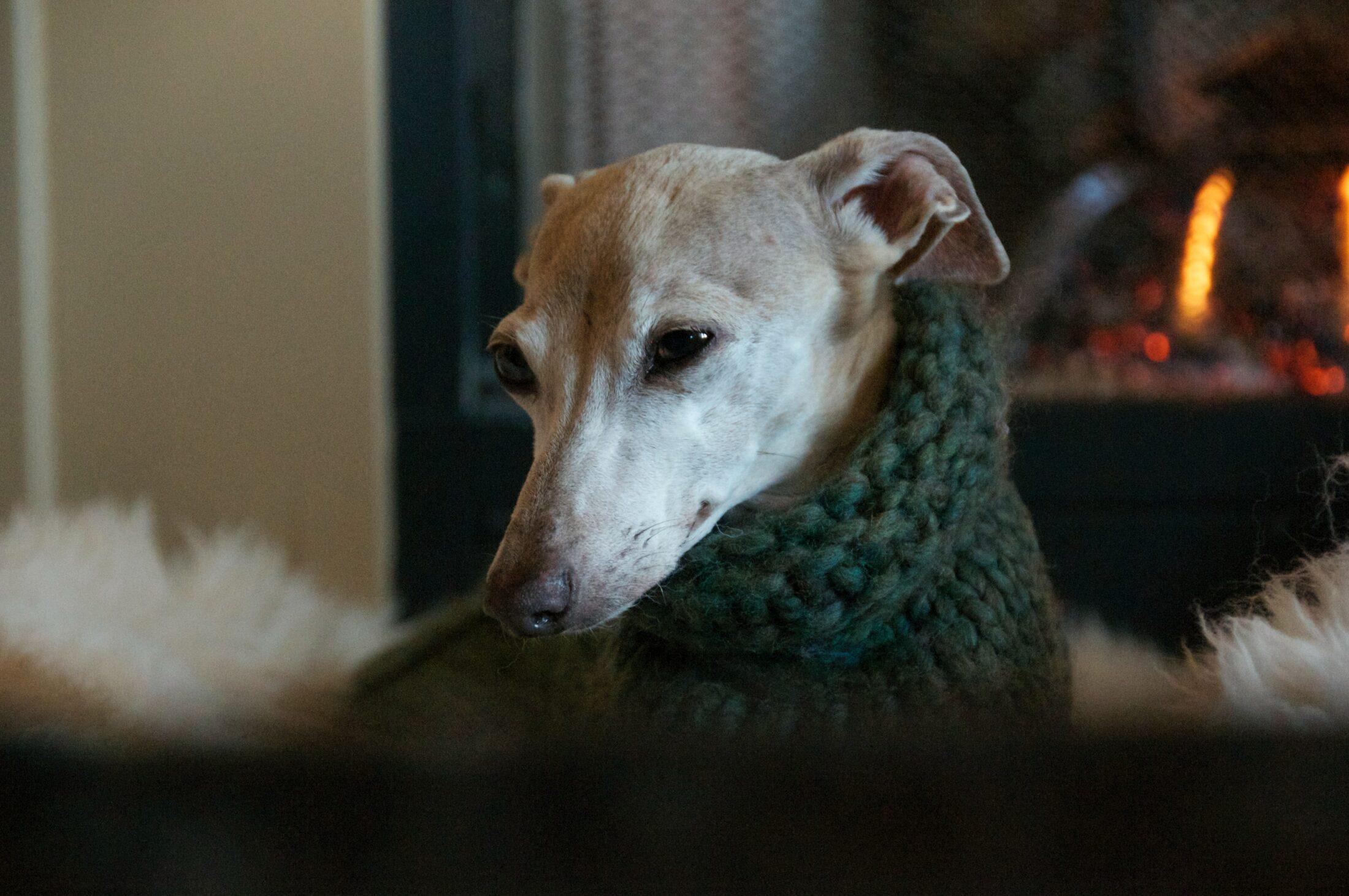 cachorro que nao late - greyhound italiano