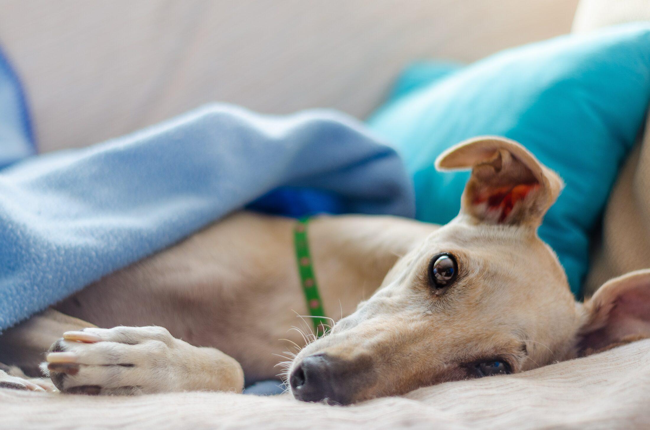 cachorro que nao late - greyhound