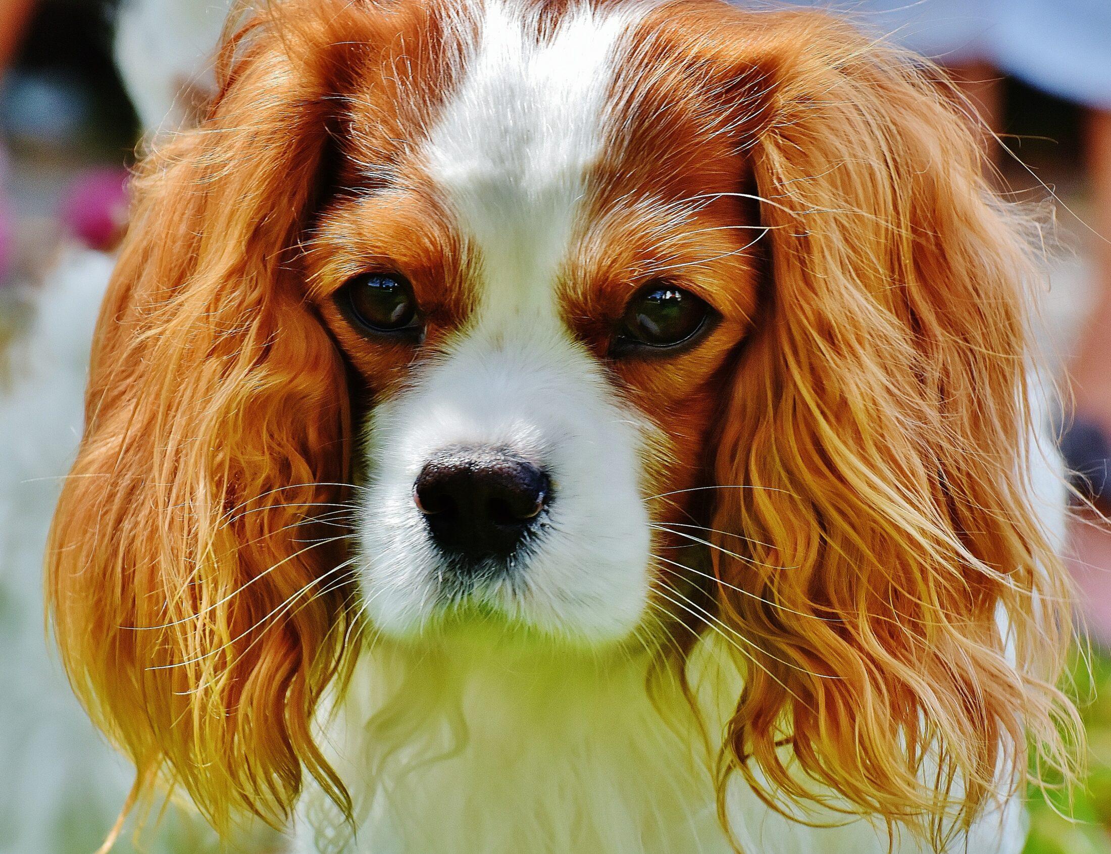 cachorro que nao late - king charles spaniel