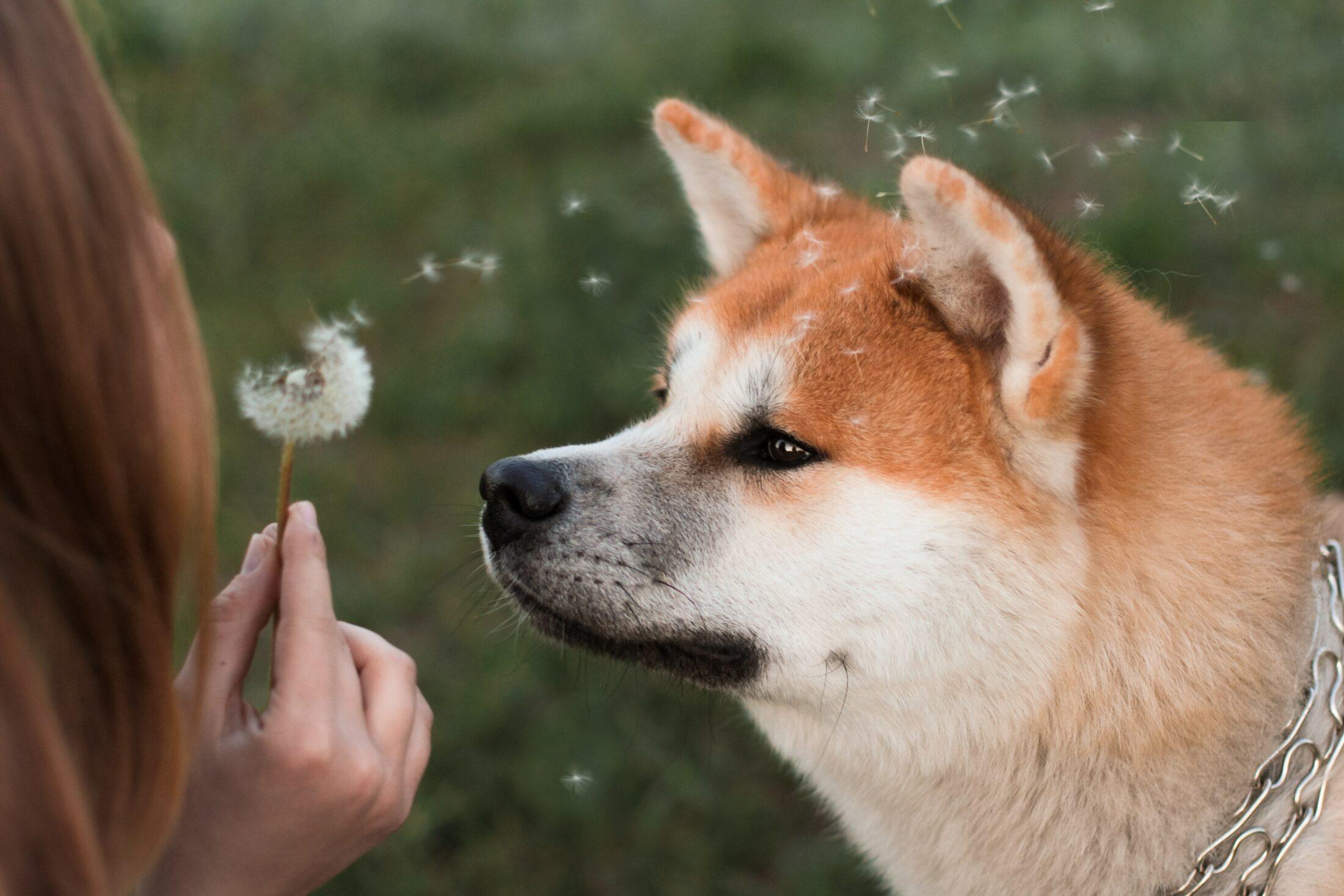 cachorro que nao late - shiba inu
