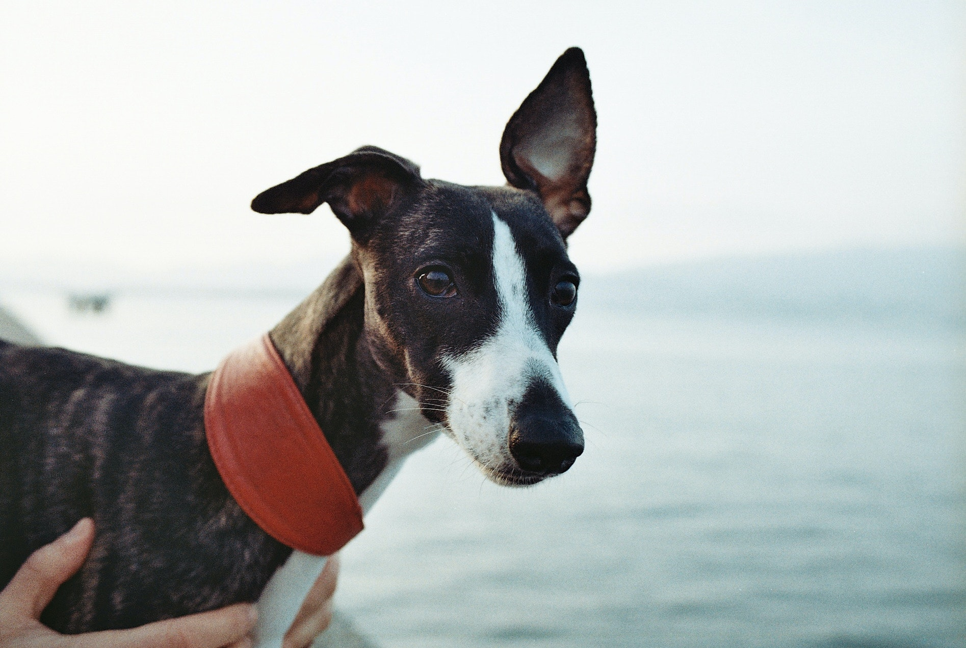 cachorro que nao late - whippet