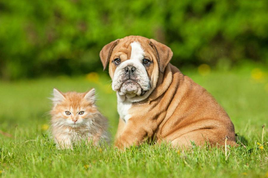 cachorro-raca-bully-ideal