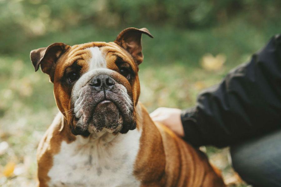 cachorro-raca-bully-temperamento