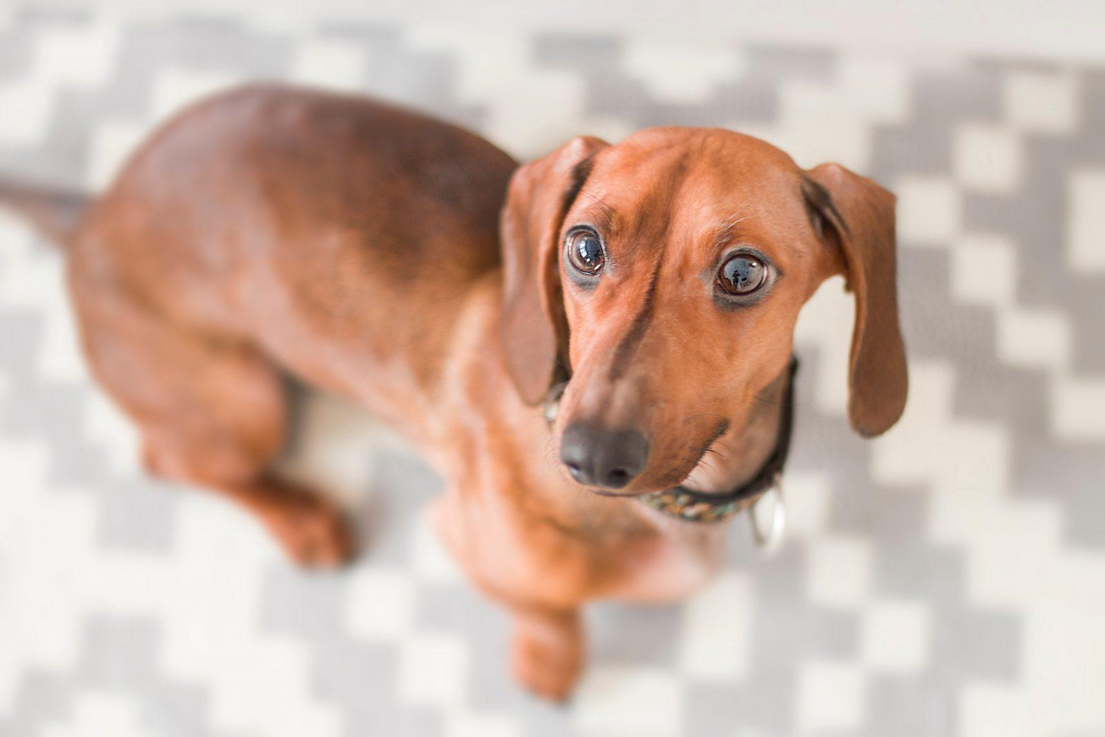 O Dachshund é o cachorro salsicha do coração de todos.