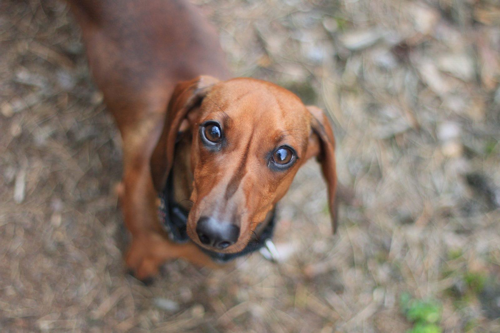 O Dachshund é um cachorro salsicha de faro exemplar.