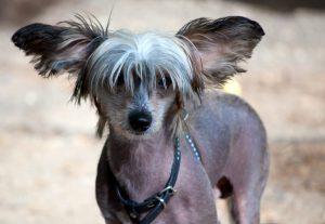 cachorro sem pela cao crista chinês