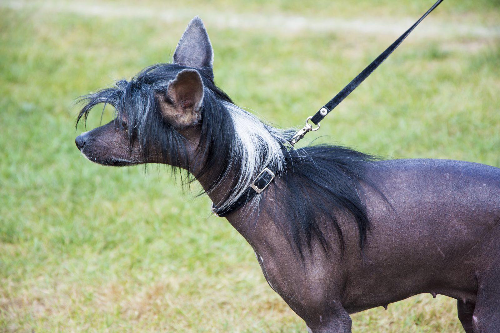 O cachorro sem pelo é um fator genético e não fabricado.