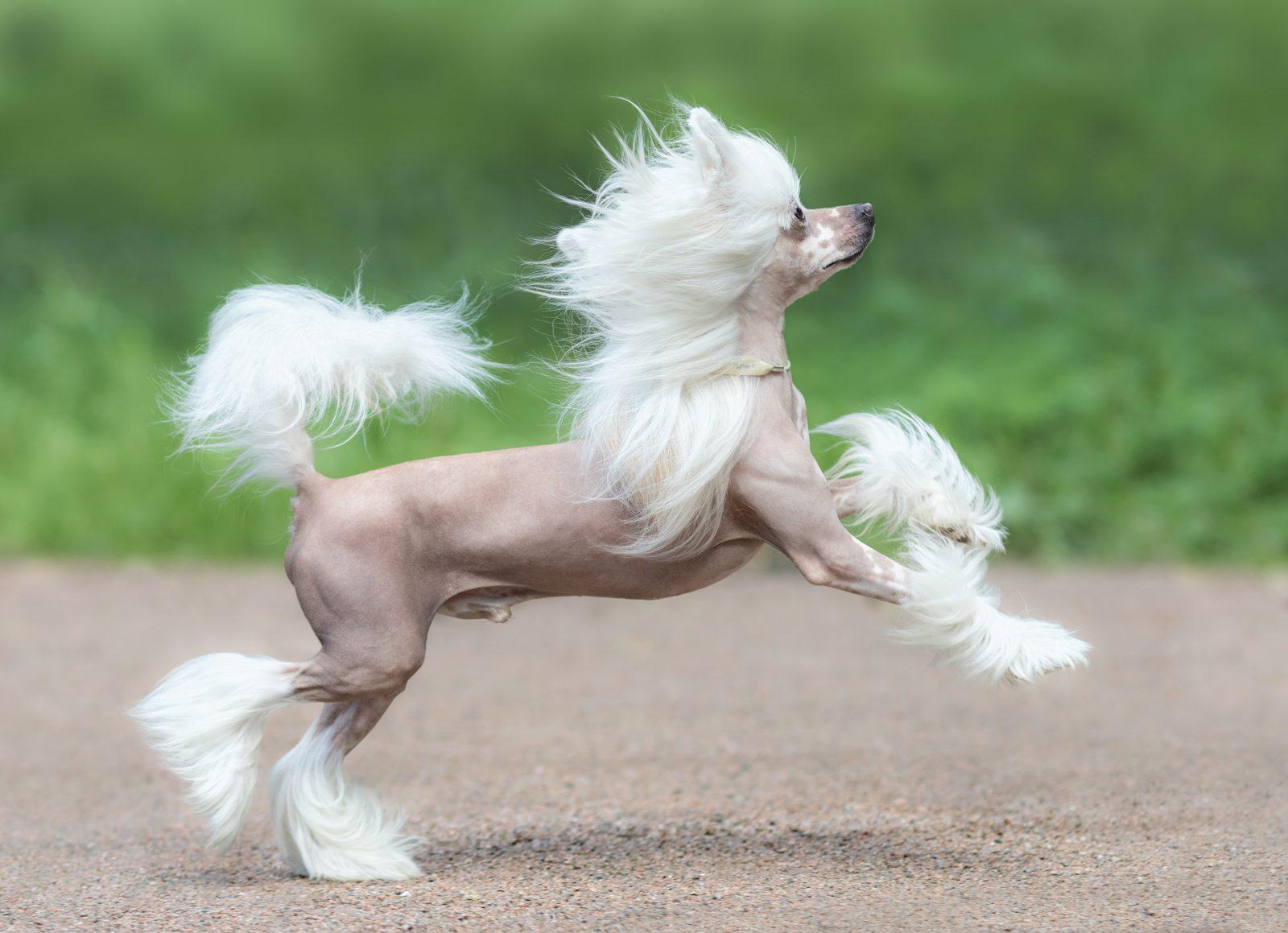 Cachoro sem pelo: Cão de Crista Chinesa.