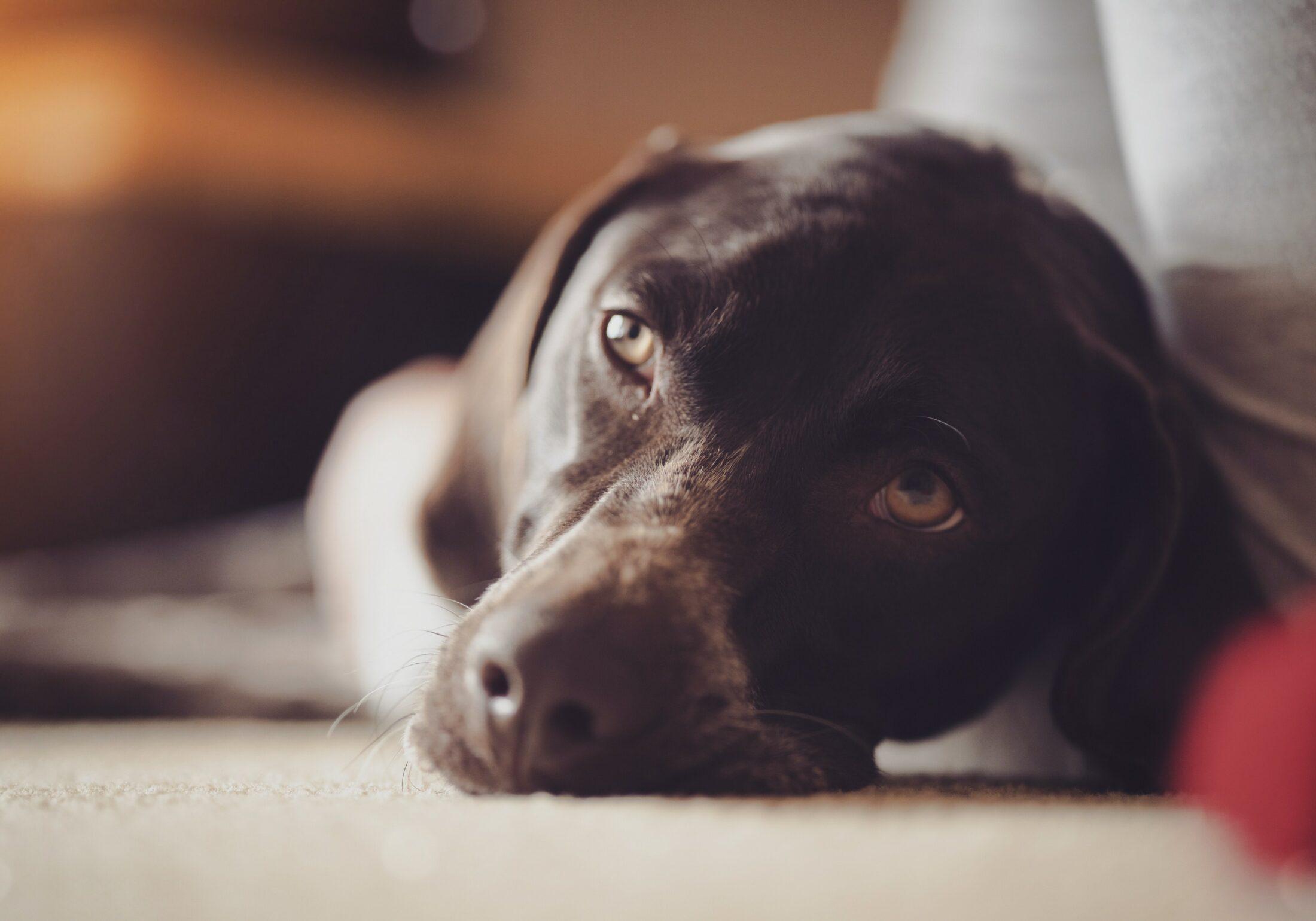Pesqusiadores e especialistas estão treinando cachorro sensitivo a detectar doenças.