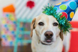 Cachorro percebe tempo: Labrador retriever celebrando o dia do seu aniversário