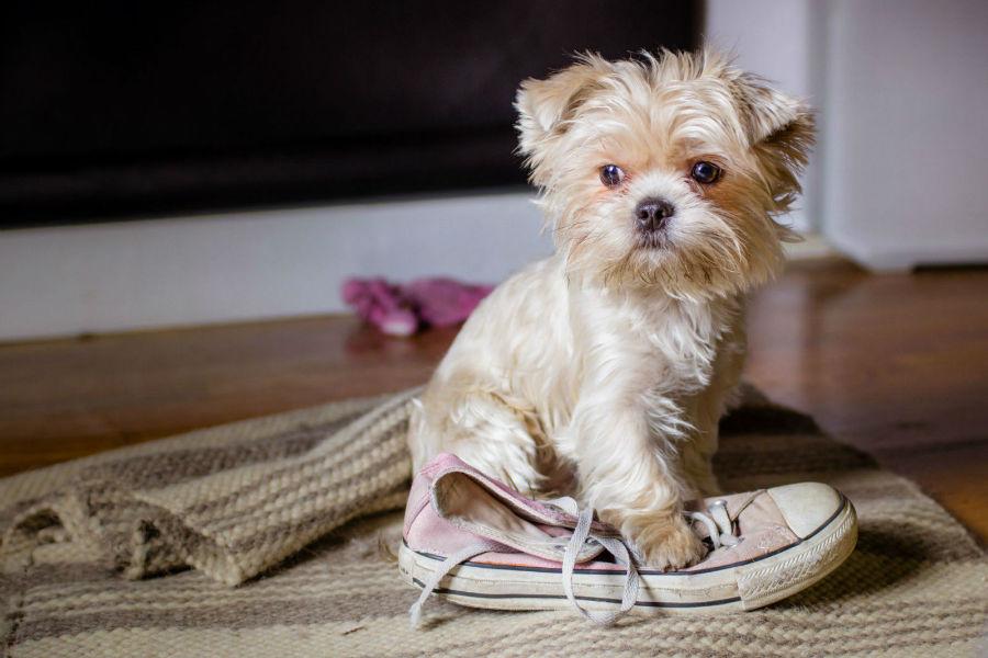 Cachorro percebe tempo: Filhote fazendo bagunça ao ser deixado sozinho por um tempo