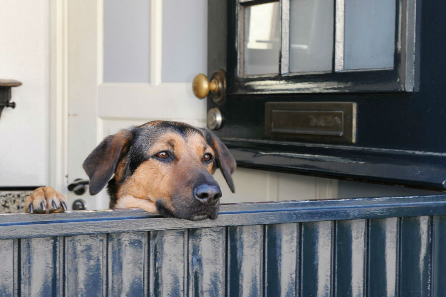 Cachorro percebe tempo: cão ansioso a espera do seu dono no muro do quintal
