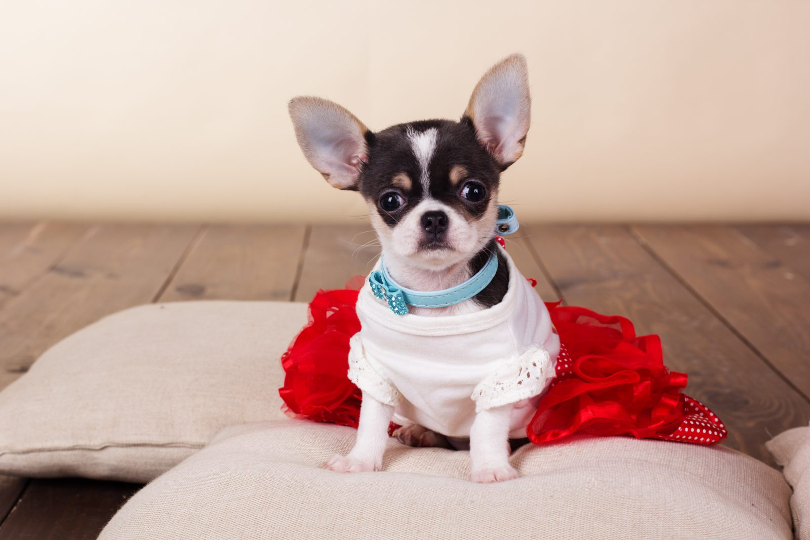 Cão guia: Chihuahua branco e preto com sua roupinha fashion e almofadas macias.