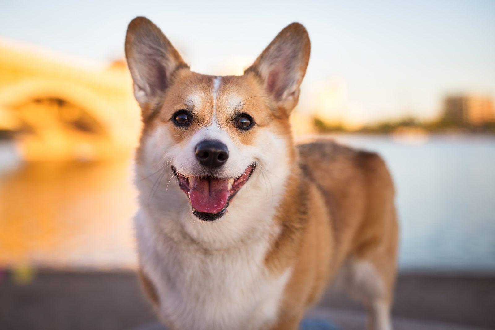 Cão guia: Corgi todo sorridente e feliz.