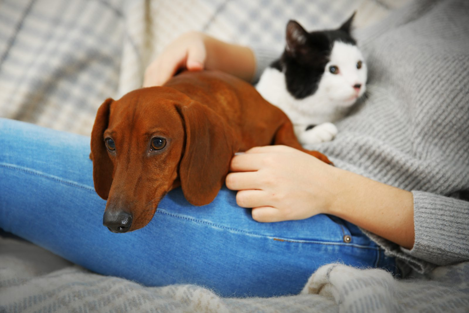 Cão guia: Dachshund no colo da sua dona junto ao gato de estimação da família.