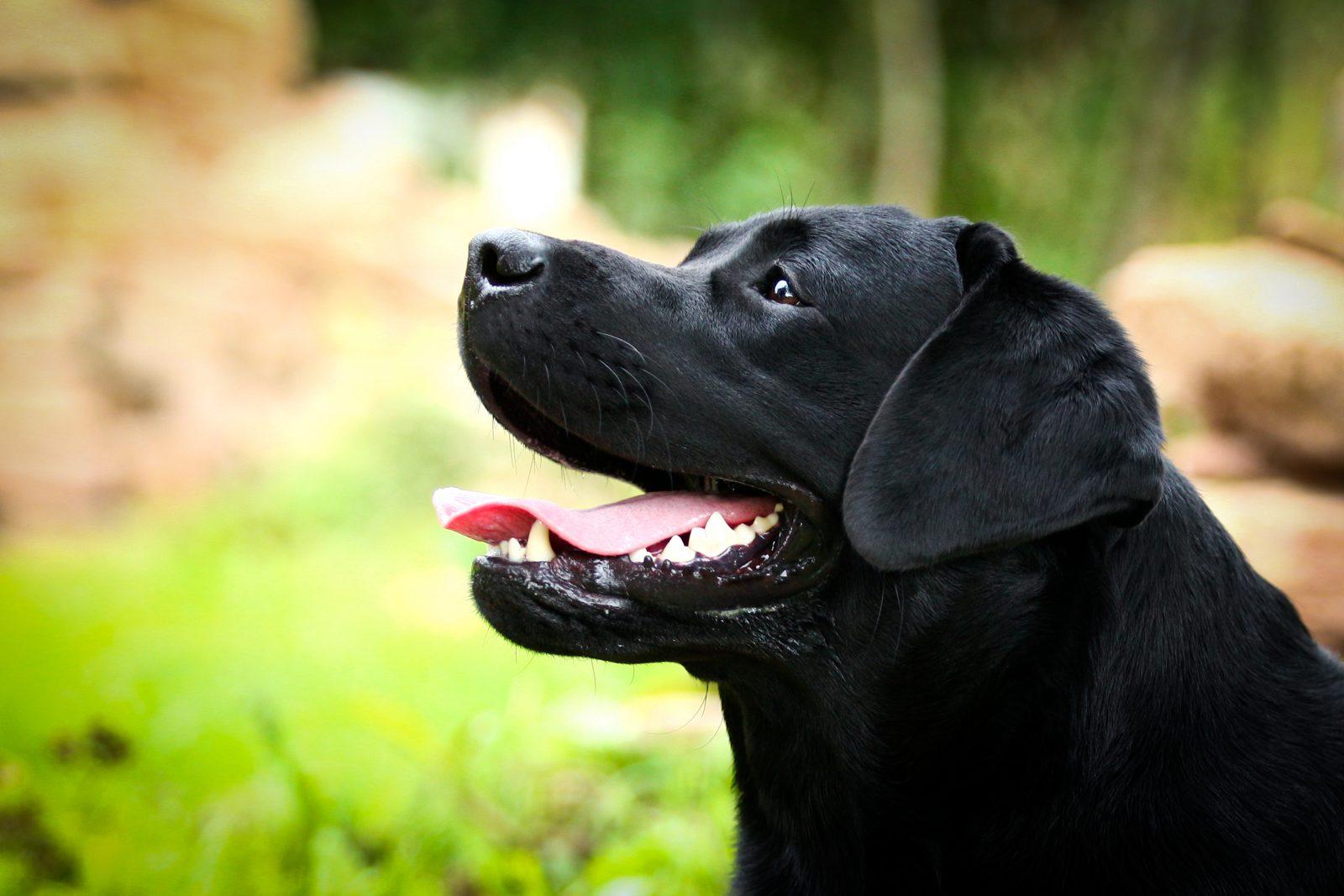 Cão guia: Labrador retriever preto, uma das raças mais populares para os serviços de cão guia e cão terapia.