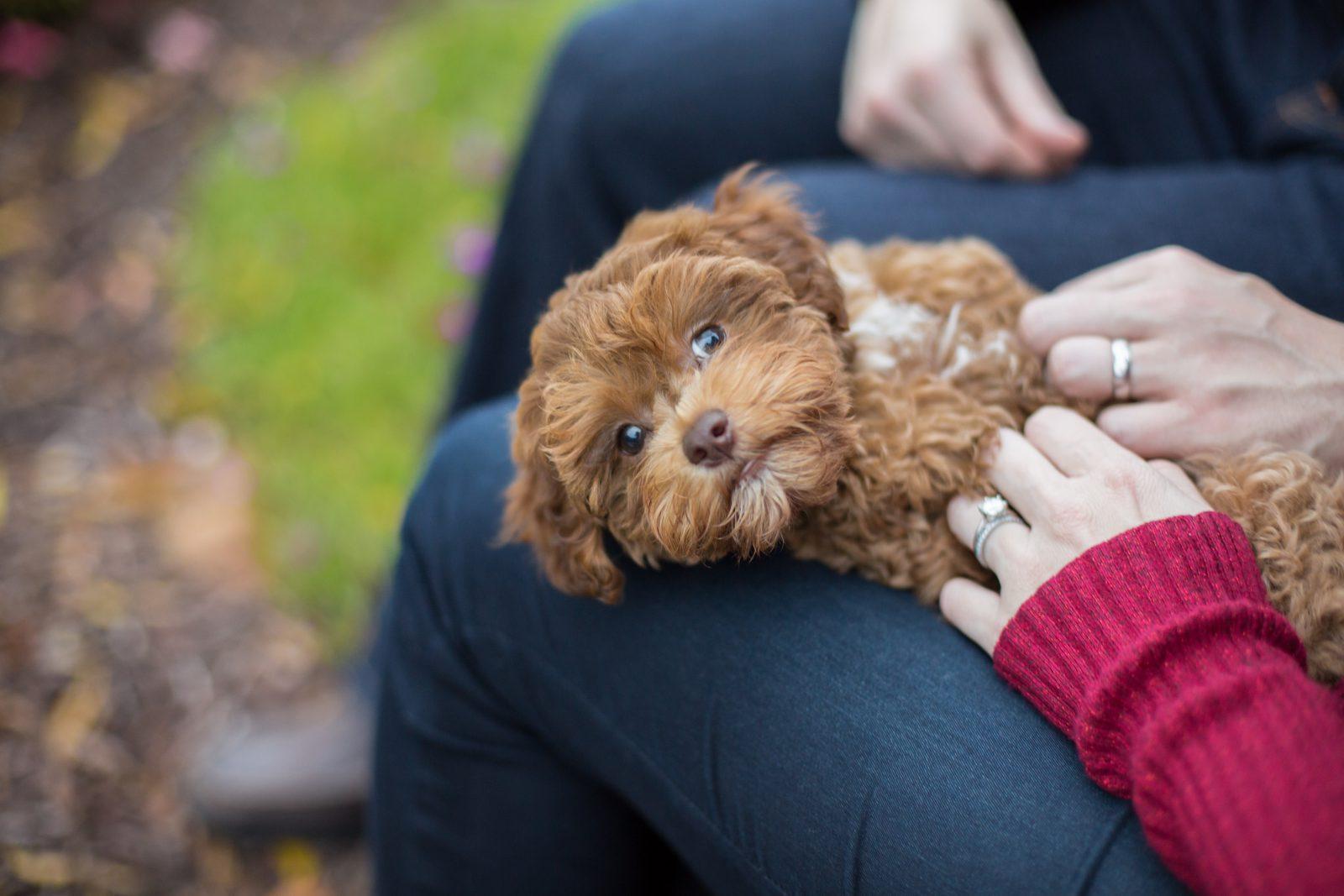 Cão guia: Poodle toy marrom chocolate recebendo carinho no colo de seu dono.