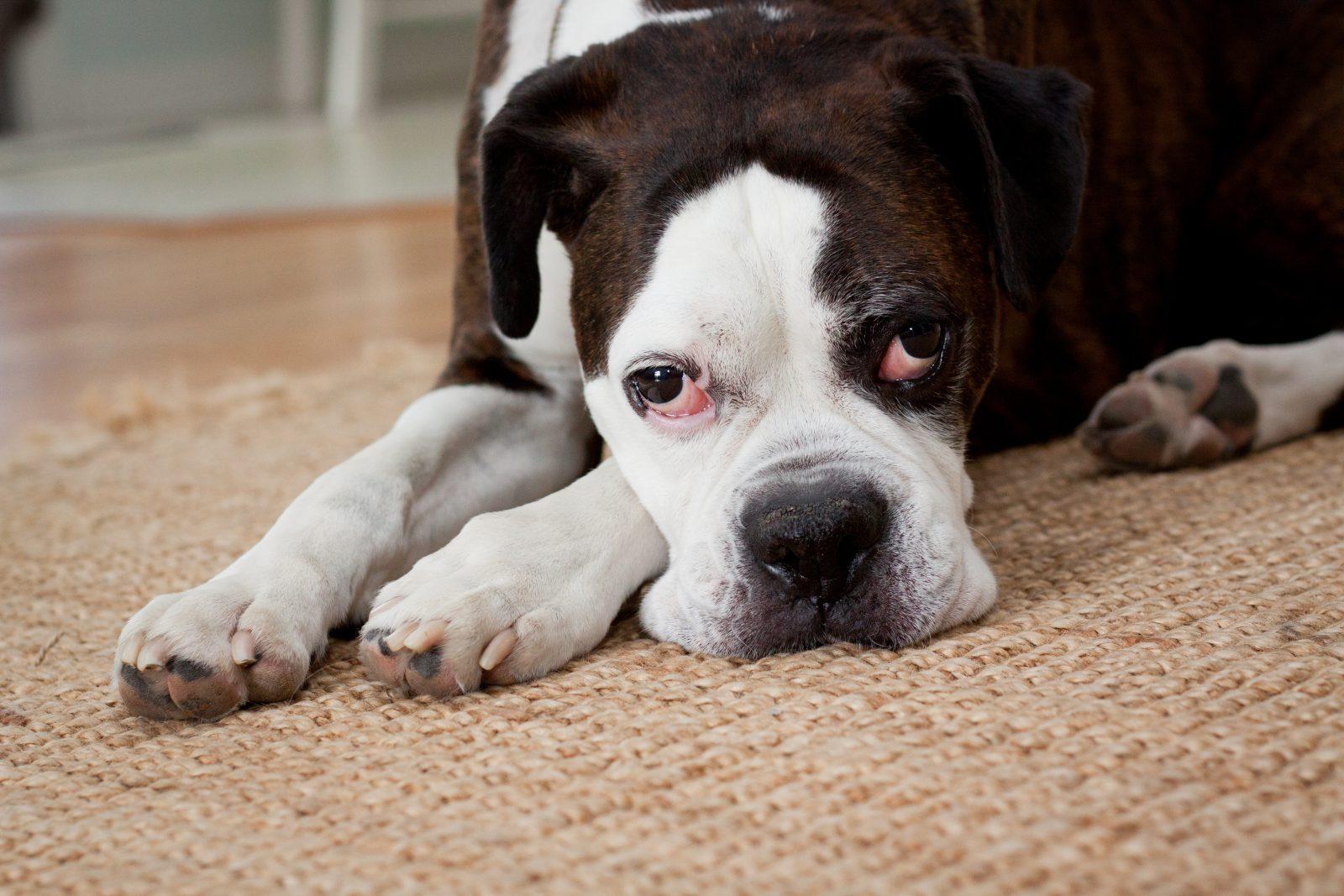 cachorro-trabalho-melhora-astral-ambiente3