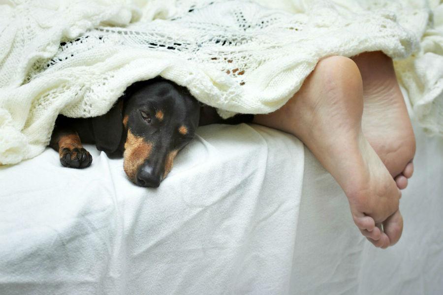 Vínculo com cachorro: Daschhund dormindo na cama debaixo das cobertas com seu dono