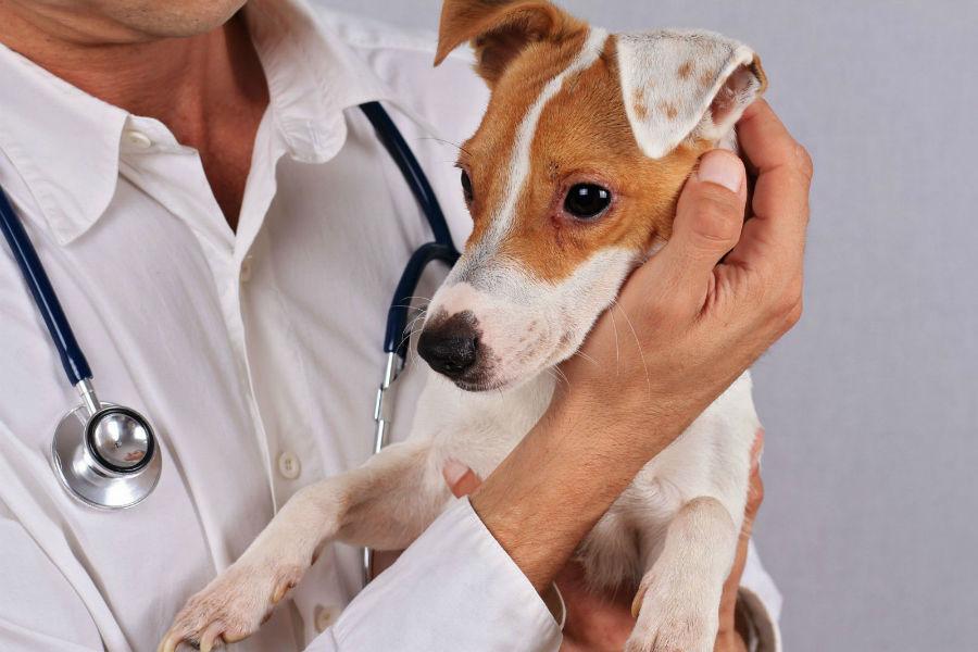 Cachorro no colo do seu veterinário na primeira consulta.