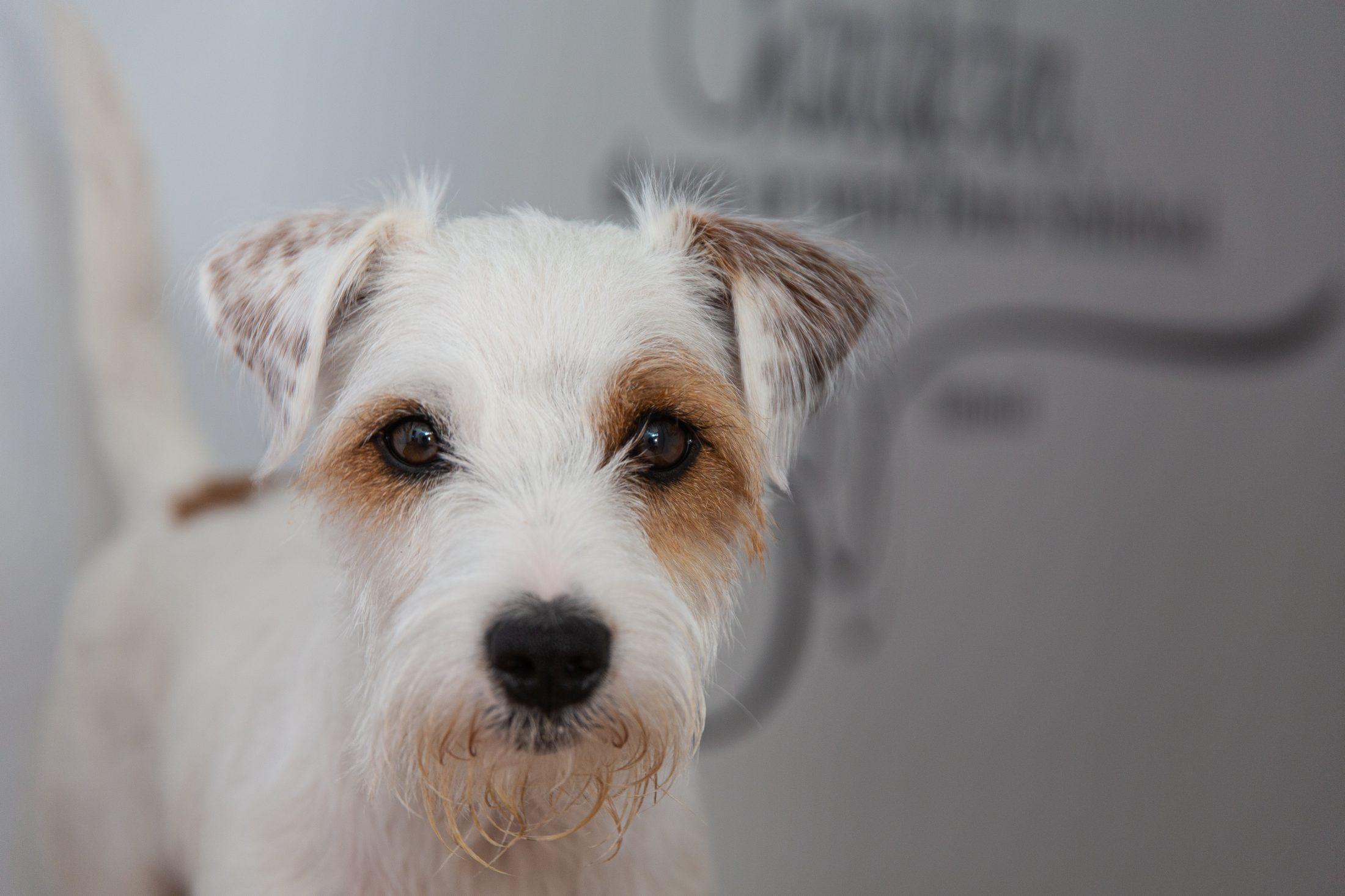 cachorros ativos parson russell terrier