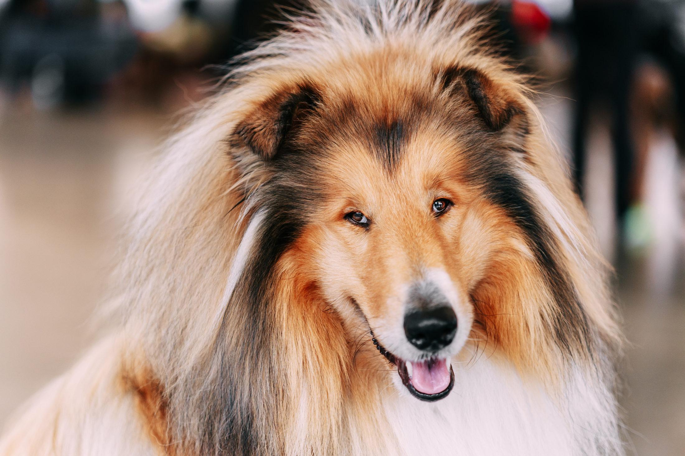 cachorros ativos pastor de shetland