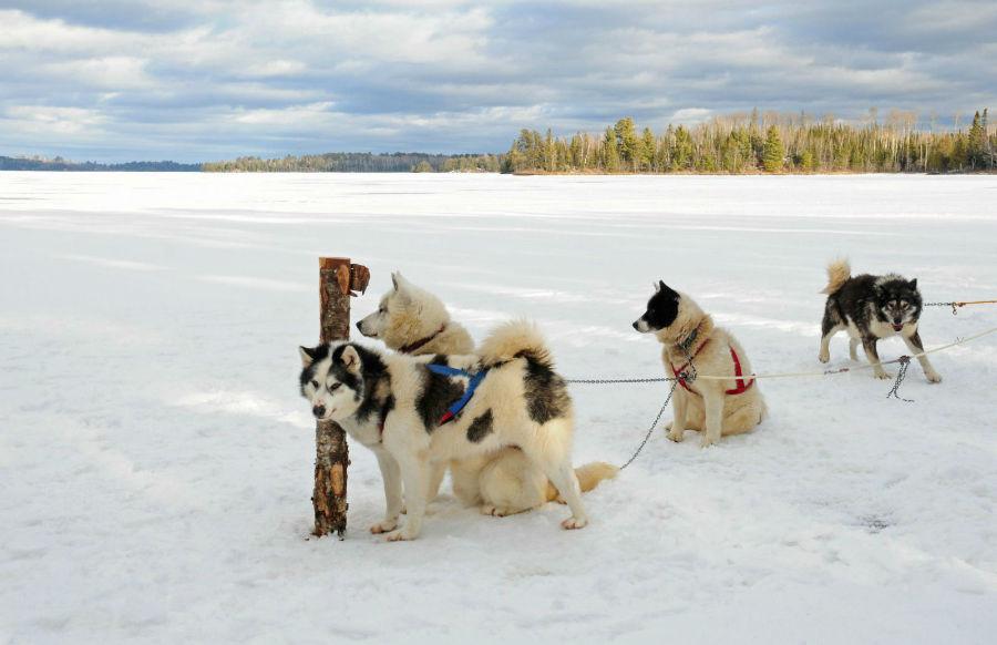 cachorros-caros-canadian-esquimo