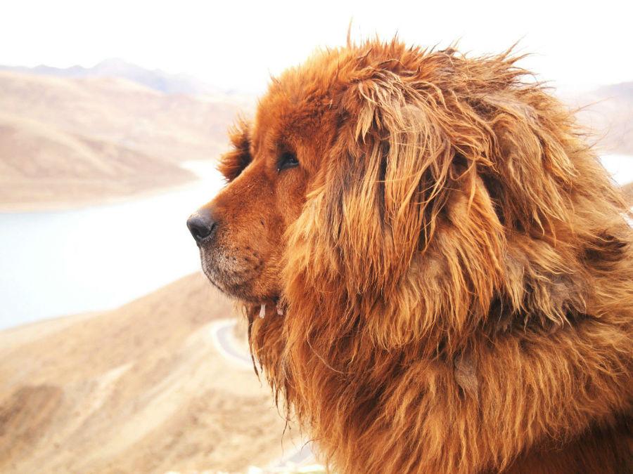 cachorros-caros-mastim-tibetano