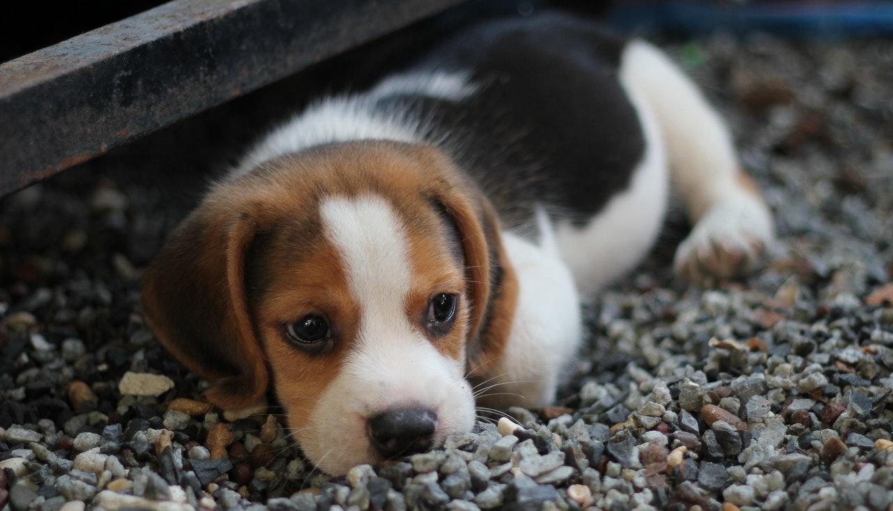Algumas raças de cachorros mais fedidos possuem características genéticas propensas ao mau cheiro.