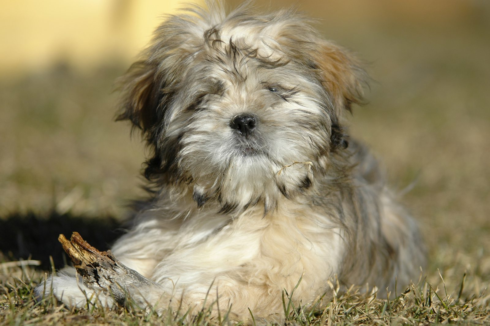 Cachorros mais vendidos: Lhasa Apso filhote deitado na grama do jardim.